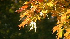 Sunny autumn leaves. Stock Footage