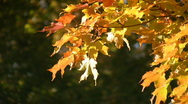 Stock Video Footage of Sunny autumn leaves.