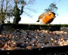 Robin - stock footage