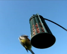 Great Tit 2 Stock Footage