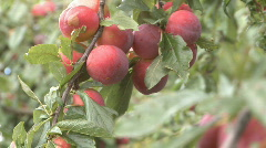 Ripe plums on tree ready to pick Stock Footage