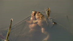 HD1080i Frog amphibians in pond. Stock Footage
