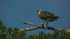 Hawk eats Fish Stock Footage
