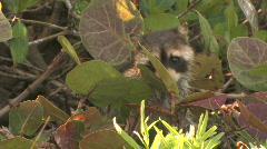 Raccoon Licks leaves Stock Footage