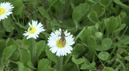 Stock Video Footage of Flying insect on daisy 1