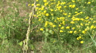 Wheat Grass & Flowers Stock Footage