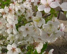 Flowers of cherry on wind. PAL Stock Footage