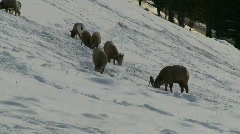 bighorn sheep grazing in winter, Banff, #1 - stock footage