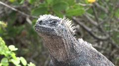 Galapagos iguana head shot Stock Footage
