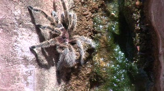 rose haired tarantula crawls up red rocks - stock footage