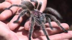 tarantula crawls on mans hands 3 - stock footage