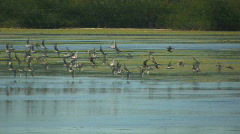 Flock flies - stock footage