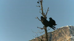 Ravens in tree, #1 Stock Footage