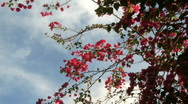 Stock Video Footage of Bougainvillea