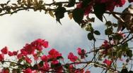 Bougainvillea and bird Stock Footage