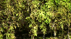 Water dripping through moss beside a waterfall Stock Footage