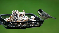 Coal Tit Stock Footage