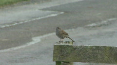 Dunnock sings on fence Stock Footage