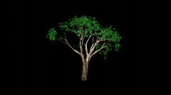 Time Lapse Growing Tree (HD720) Stock Footage