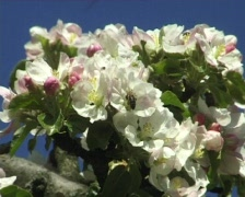 Blossomy bee Stock Footage