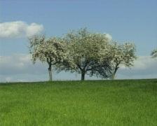 Triple blossomy trees Stock Footage