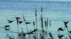Waterfowl in flight Stock Footage