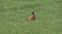 Cock Pheasant walks through field 1 - stock footage