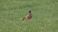 Stock Video Footage of Cock Pheasant walks through field 1