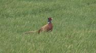 Cock Pheasant walks through field 1 Stock Footage