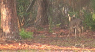 Deer In The Forest 01 Stock Footage