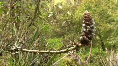 Puya aequatorialis, an Andean terrestrial bromeliad Stock Footage