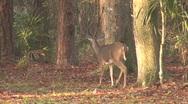 Deer In The Forest 02 Stock Footage