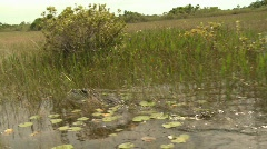Alligator swimming in the Florida Everglades Stock Footage