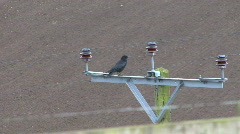 Carrion Crow displays on power pole 1 Stock Footage