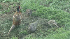 Covey of Pheasants forage Stock Footage