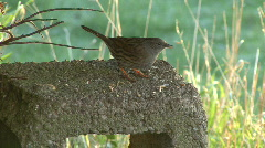 Dunnock eating seeds 2 Stock Footage