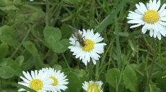 Flying insect on daisy 2 Stock Footage