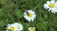Stock Video Footage of Flying insect on daisy 2