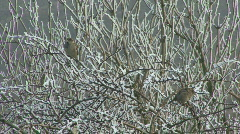 Hard frost - Sparrows in bush 2 Stock Footage