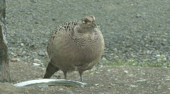 Hen pheasant drinks from dog bowl Stock Footage