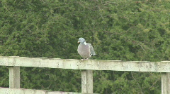Wood pigeon on fence flies away Stock Footage