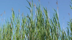 Tall Grasses Blowing in the Wind Stock Footage