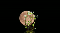 Montage of moon rising behind growing christmas rose 1 Stock Footage