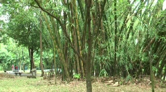 Bamboo shrub, lower parts. Stock Footage