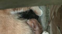 2 New-born Kittens Drinking Milk Stock Footage