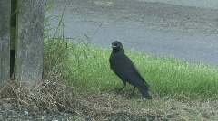 Jackdaw fledgeling calls to parent Stock Footage