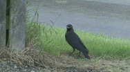 Stock Video Footage of Jackdaw fledgeling calls to parent