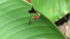 Grasshopper feeding on leaf Stock Footage