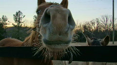 Nosy Horse - stock footage