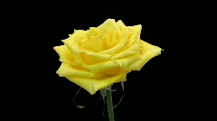 Time-lapse of yellow rose opening with ALPHA matte Stock Footage